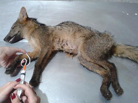 cirurgia em animal e recuperação de animal em medicina veterinária