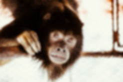 Macaco resgatadado do tráfico