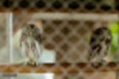 corujas resgatadas do tráfco