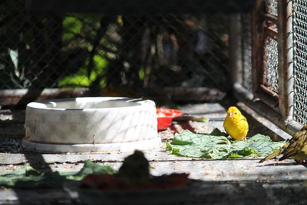 canarinho amarelo