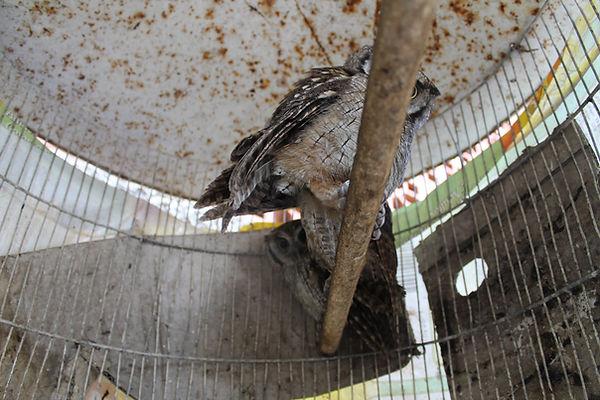 corujas sendo cuidadas