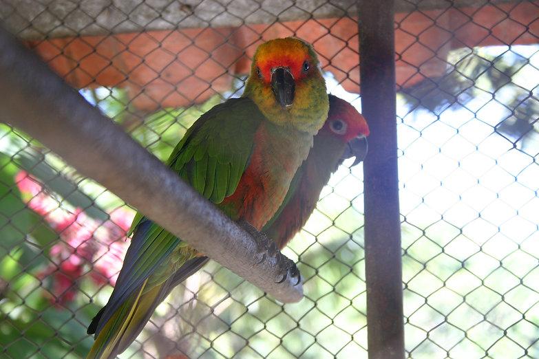lindos papagaios