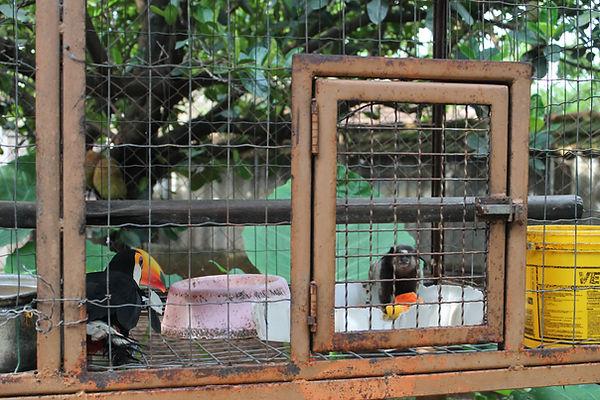 Tucanos vivendo felizes
