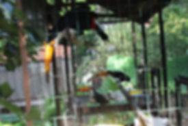 Tucanos sendo cuidados