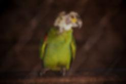 Papagaio resgatadado do tráfico