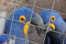 casal de aara azul