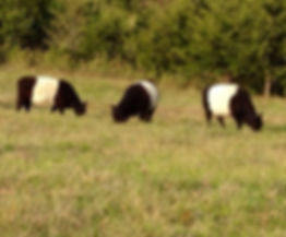 belted galloway cattle southeast iowa