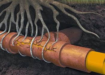 TREE ROOTS IN THE DRAIN