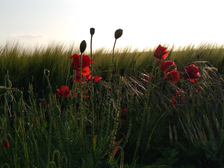 poppies oats and wheat.jpg