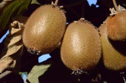 Kiwi Français ensoleillé