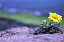 Flower on a cliff