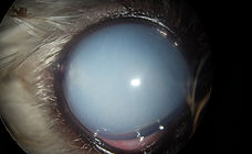maladie oeil chien_ophtovet méditerranée