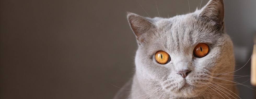 Oeil - Chat - Ophtalmologie vétérinaire
