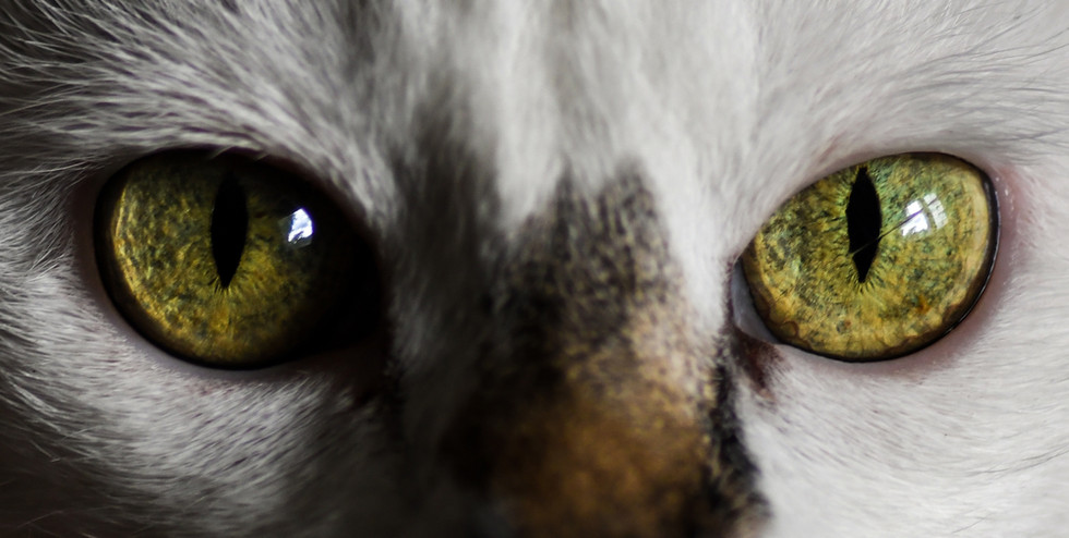 Oeil - chat - ophtalmologie vétérinaire - Ophtovet Méditerranée.jpg