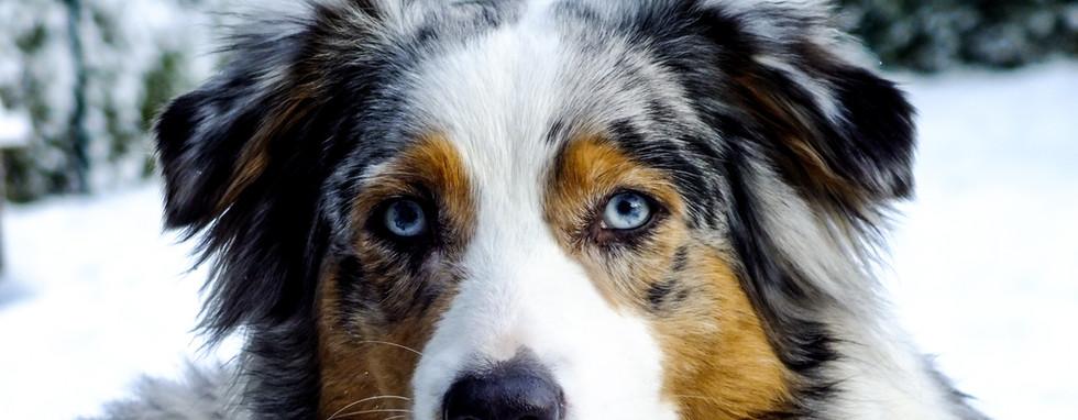 Oeil - Chien - Ophtalmologie Vétérinaire - Berger australien