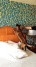 Bed Bug Detection Dog, Hotel search for Bed Bugs