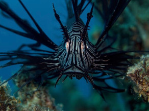 Lion Fish in the Coral Sea