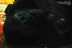 Zoo, scimpanzè