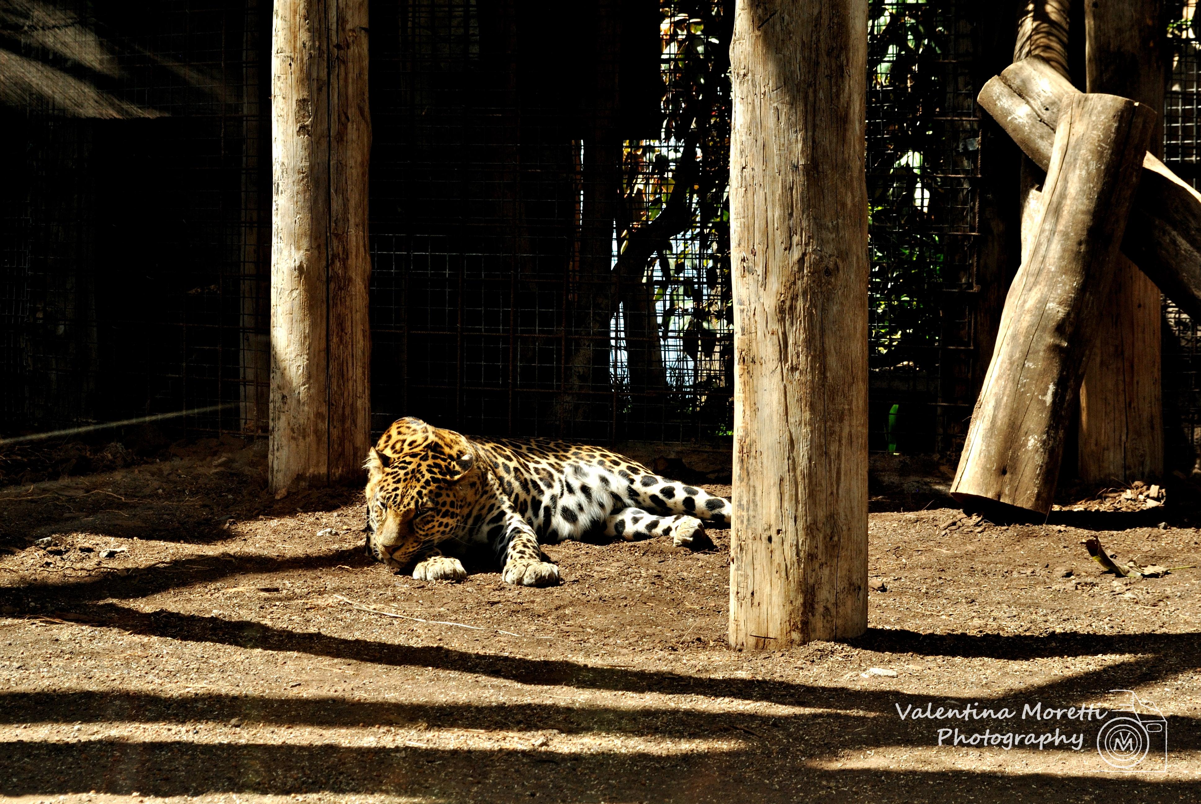 Tropical Park, giaguaro