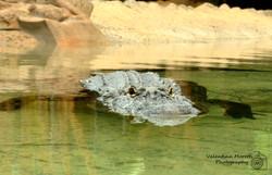 Loro Parque, alligatore