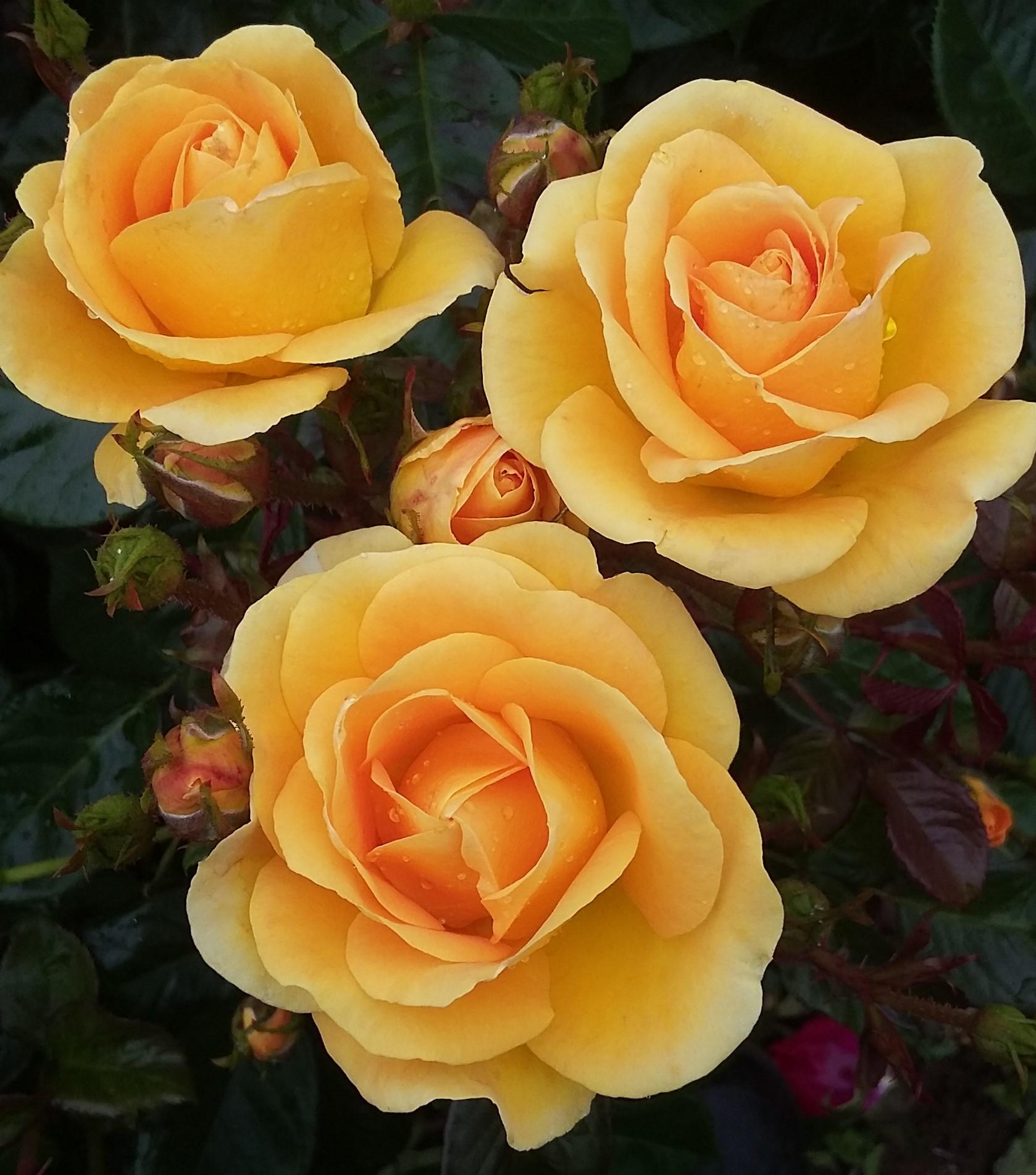 The McFarlane Anniversary Rose