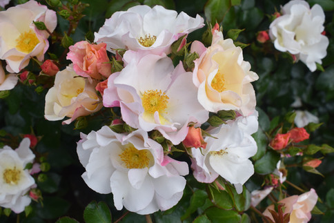 Northern Ireland Centenary Rose Dictender