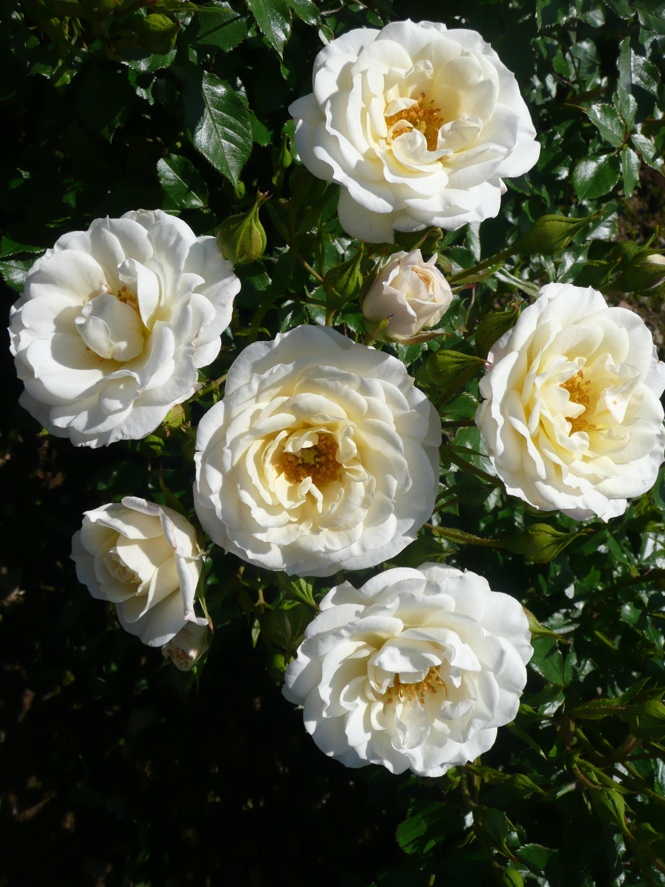 THE SHEIKH KHALIFA ROSE