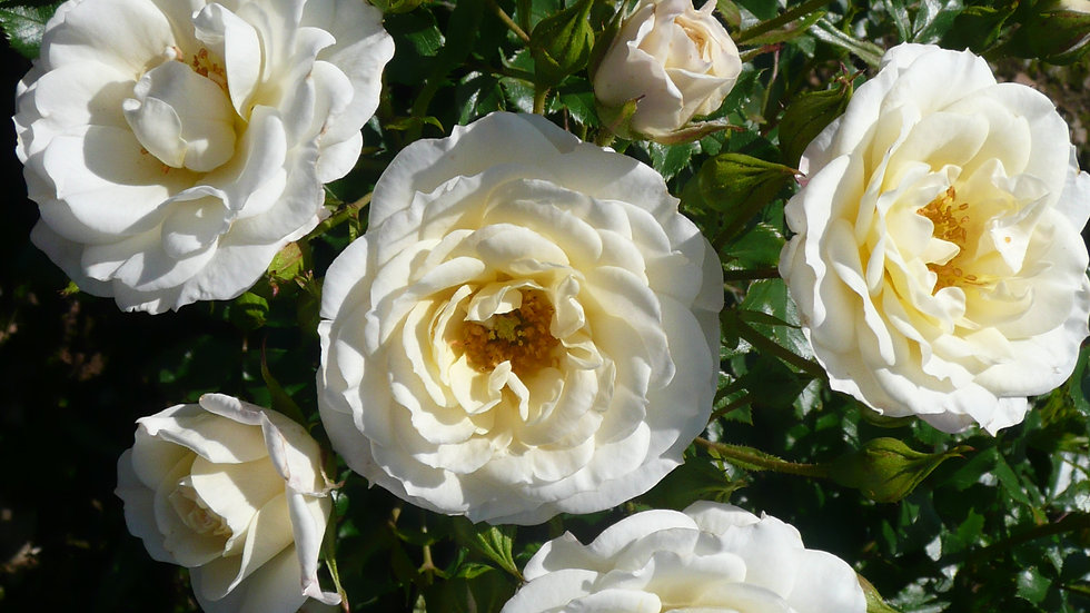 THE SHEIKH KHALIFA ROSE (Dickoolkid)