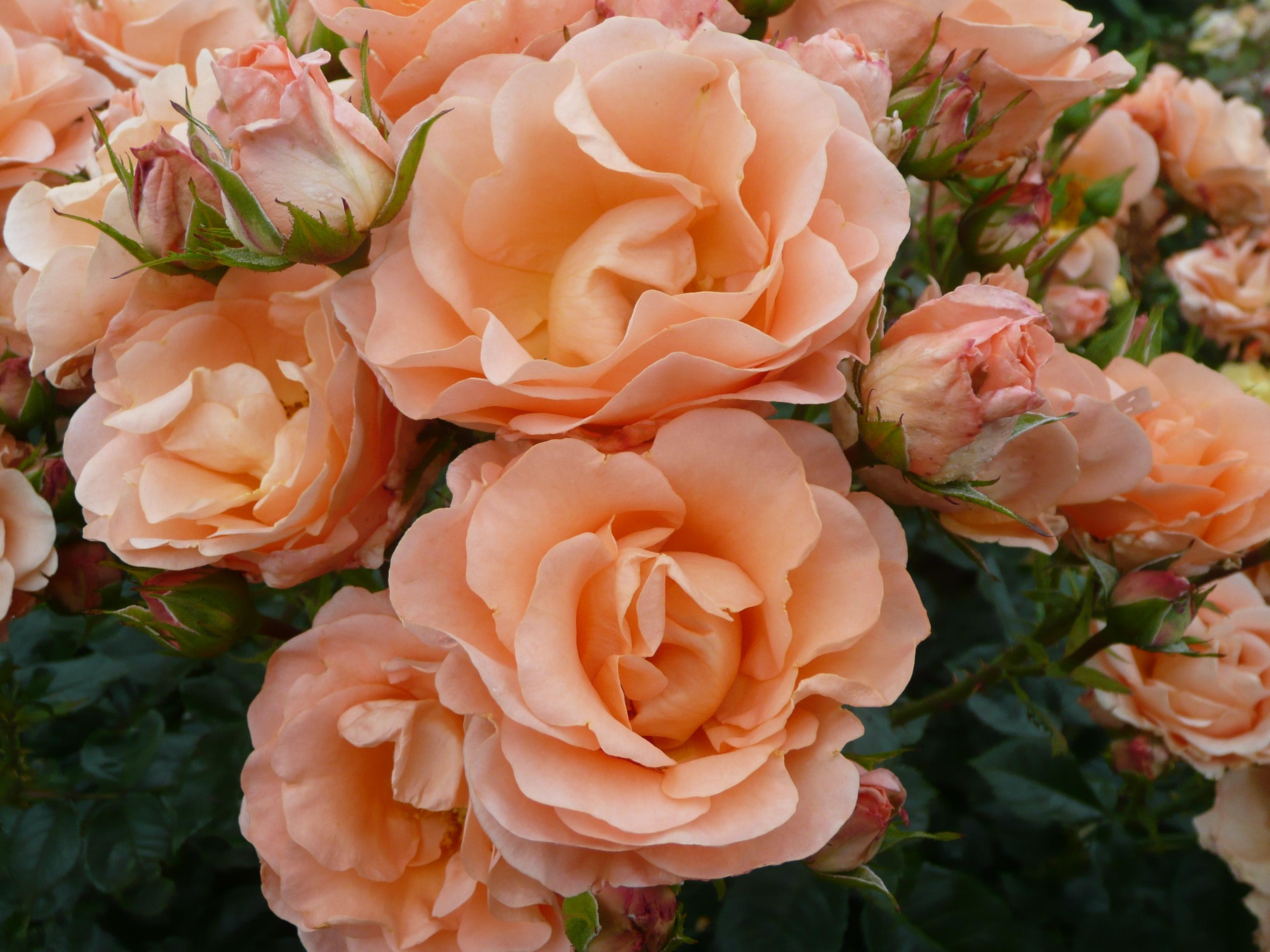 Finnercy Rose
