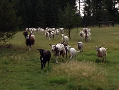 Bah Bah Blacktail Farm (5).jpg