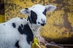 Bah Bah Blacktail Farm (10).jpg