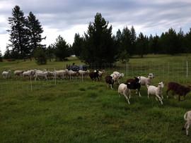 Bah Bah Blacktail Farm (1).jpg