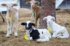 Bah Bah Blacktail Farm (8).jpg