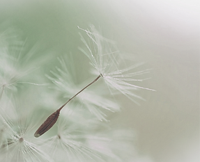 Dandelion%20Parachute%20Seed_edited.png