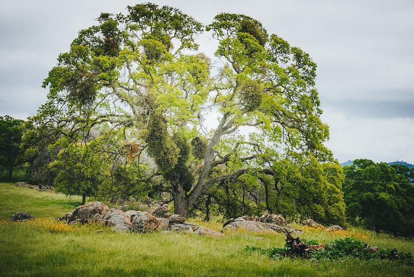 Oak in Spring, 2020 Edition Archival Matte Fine-Art Print
