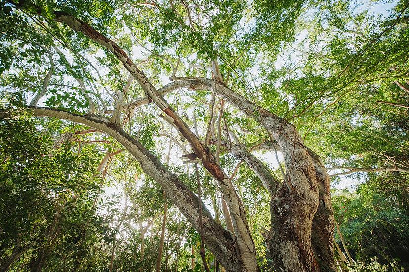 Honolua Valley Banyan Tree, 2020 Edition Archival Matte Fine-Art Print