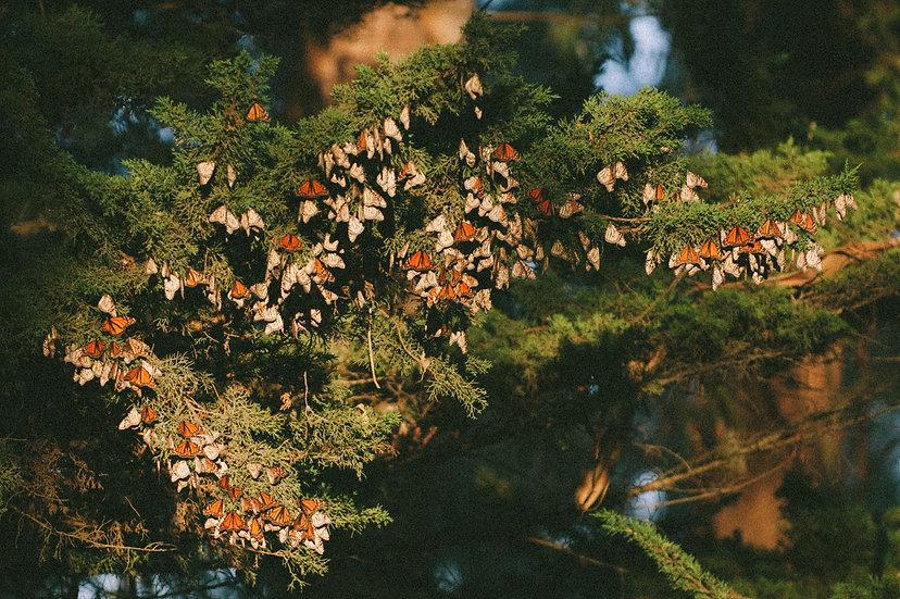 Santa Cruz Monarchs, 2020 Edition Archival Matte Fine-Art Print