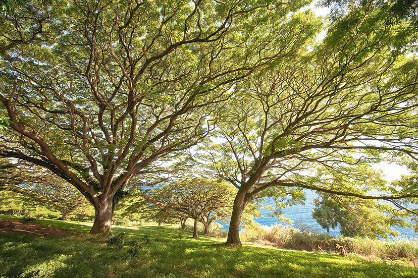 Hana Banyan Trees, 2020 Edition Archival Matte Fine-Art Print