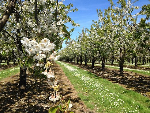 Kent Fruit Orchard Website.jpg