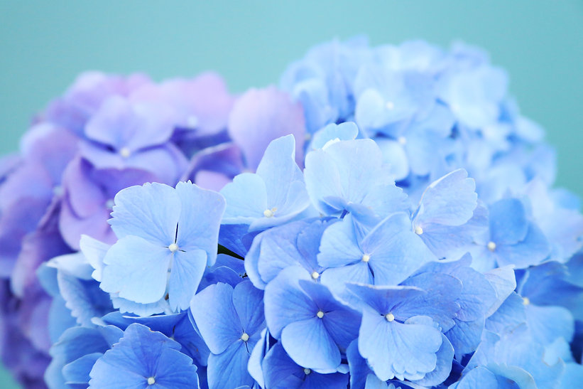 hydrangea2.jpg