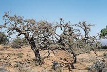 Boswellia Carterii (Somalia) 25 gr.