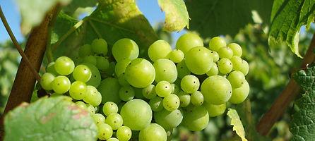 champagnedruiven-in-augustus-2012.jpg