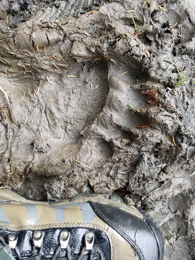 Brown bear foot.jpg