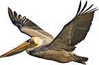 Pelican_left.jpg