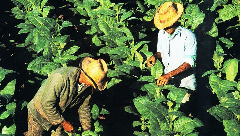 web site tobacco farmers2.jpg