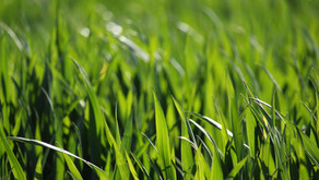 극강의 알칼리성 식품인 보리싹 추출물이 통풍 발작을 막는다