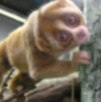 Slow Loris - Closeup Extreme.JPG