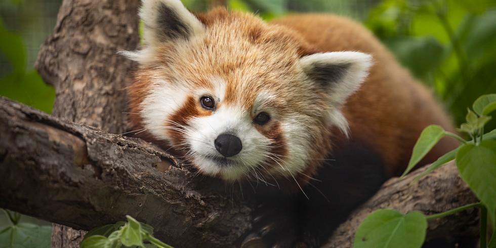 International Red Panda Day at LRZ!
