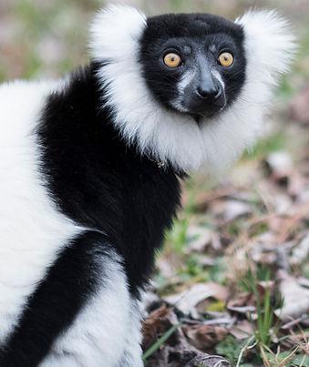 Black and white ruffed lemur portrait -