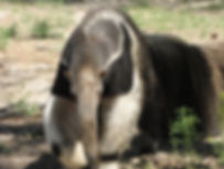 anteater frontal good.jpg